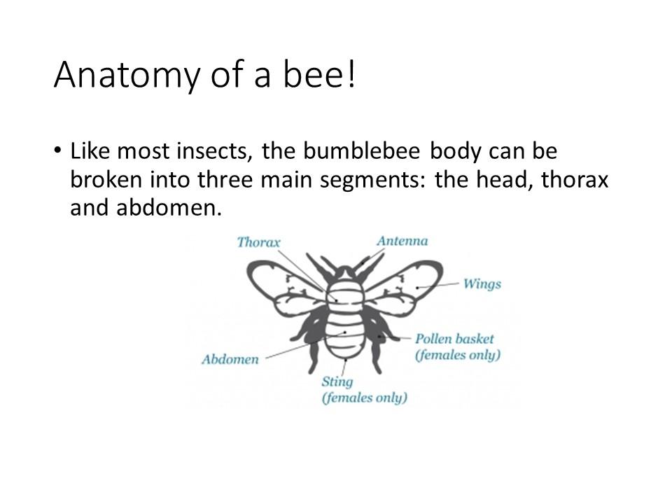 Ambassador of the bumblebee – Stockbridge Primary School